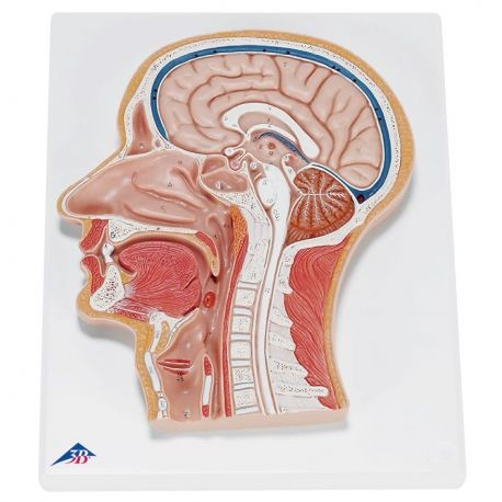3B Scientific, mesa anatómica, pósters El Sistema Nervioso ...