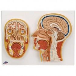 3B Scientific, modello anatomico sezione mediana e frontale della testa C13