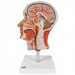 3B Scientific, modello anatomico di metà testa con muscolatura C14