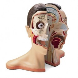 3B Scientific, modello anatomico di testa e nuca scomponibile in 5 parti W42512