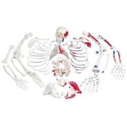 Riproduzione di cranio Australopithecus boisei (KNM-ER 406 + Omo L7A-125) VP755/1