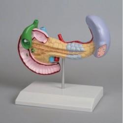 3B Scientific, modello anatomico: Orecchio ingrandito 5 volte, in 8 parti W42514