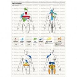 Osteoposter - Viscerotomi Sistema digestivo Verticale