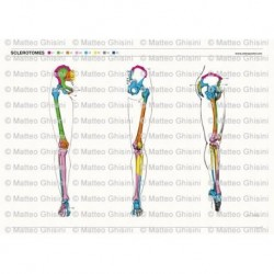 Osteoposter - Sclerotomi Gambe