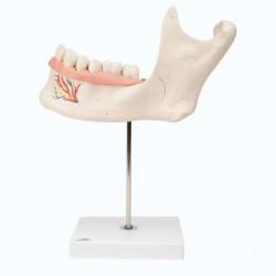 3B Scientific, modello anatomico di metà mandibola, ingrandita 3 volte, in 6 parti D25