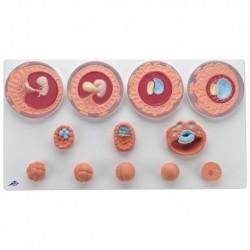 Reni di ricambio per torso umano 3B Scientific metà anteriore XB017