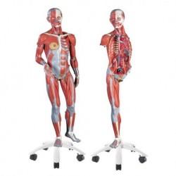 3B scientific, Modello di figura umana con muscoli, bisessuata, in 45 parti B50
