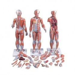 3B scientific, Modello di figura umana con muscoli, bisessuata, in 33 parti B55
