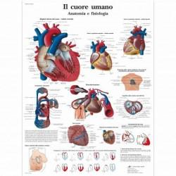 3B Scientific, tavola anatomica, Il Cuore Umano  (cod, VR4334L)