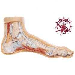 Piede Normale - Modello anatomico SOMSO NS1