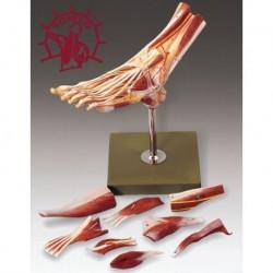 Muscoli del piede - Scomponibile in 9 parti. Modello anatomico SOMSO NS9