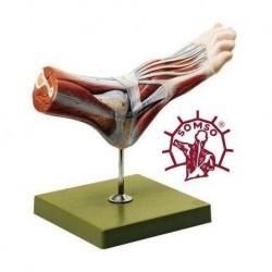 3B Scientific, modello anatomico di scheletro del piede su filo di nylon A30/2