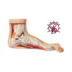 Skeleton Hand auf Draht 3B Scientific, rechts A40 / R