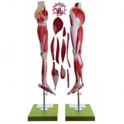 Gamba e bacino con muscolatura - Scomponibile in 10 parti. Modello anatomico SOMSO NS10