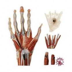 Muscoli della mano con tronco dell'avambraccio - Scomponibile in 5 parti. Modello anatomico SOMSO NS13