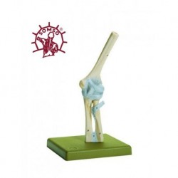 Articolazione del gomito con legamenti - Modello anatomico SOMSO NS18