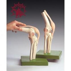 modèle anatomique, le bras squelette avec W19019 vaisseaux sanguins