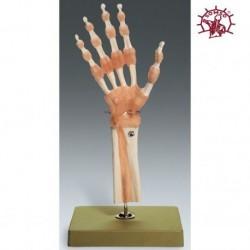 Modello funzionale di articolazione della mano e delle dita con legamenti - Modello anatomico SOMSO NS55