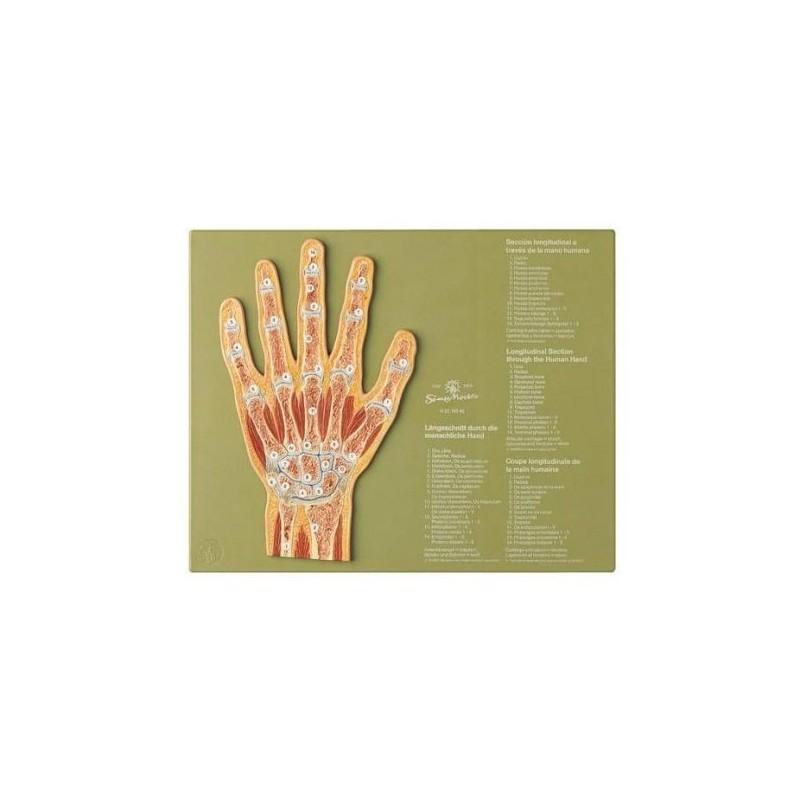 Articolazione della mano in sezione sagittale - Modello anatomico SOMSO NS45