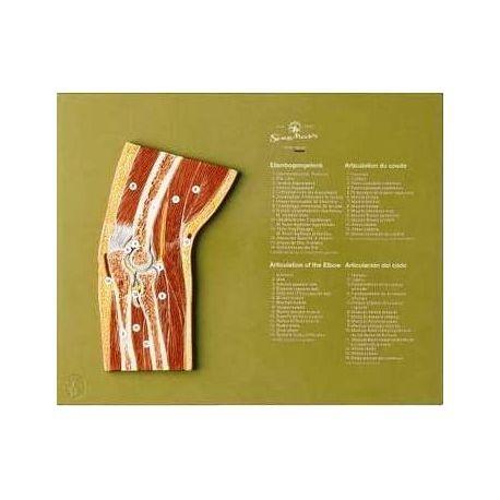 3B Scientific, mesa anatómica, La musculatura humana (cod. VR4118L)