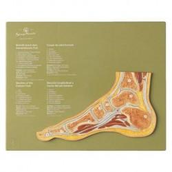 Articolazione del piede in sezione sagittale - Modello anatomico SOMSO NS47