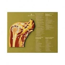 Articolazione della spalla in sezione sagittale - Modello anatomico SOMSO NS48