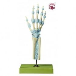 Modello di articolazione della mano e delle dita con legamenti - Modello anatomico SOMSO NS21/1