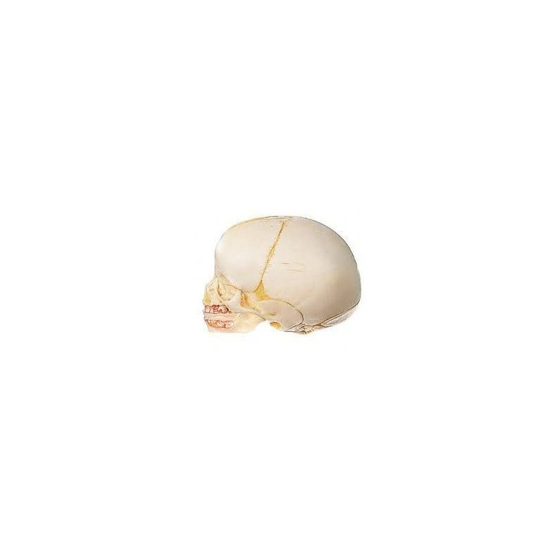 Cranio di un neonato, scomponibile in 2 parti, Modello anatomico SOMSO QS3