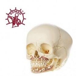 Cranio di un bambino, scomponibile in 2 parti, Modello anatomico SOMSO QS3/2
