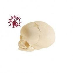 Cranio didattico di feto, Modello anatomico SOMSO QS3/3