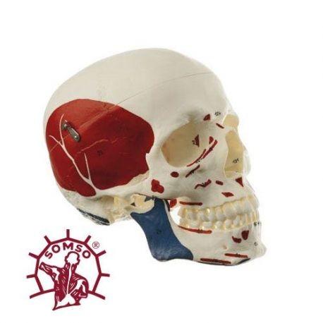 Groß Auge Anatomie Modell Markiert Ideen - Menschliche Anatomie ...