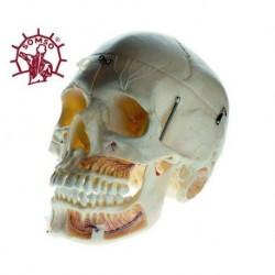 Osteoposter - Sclerotomi ръцете и краката Вертикална