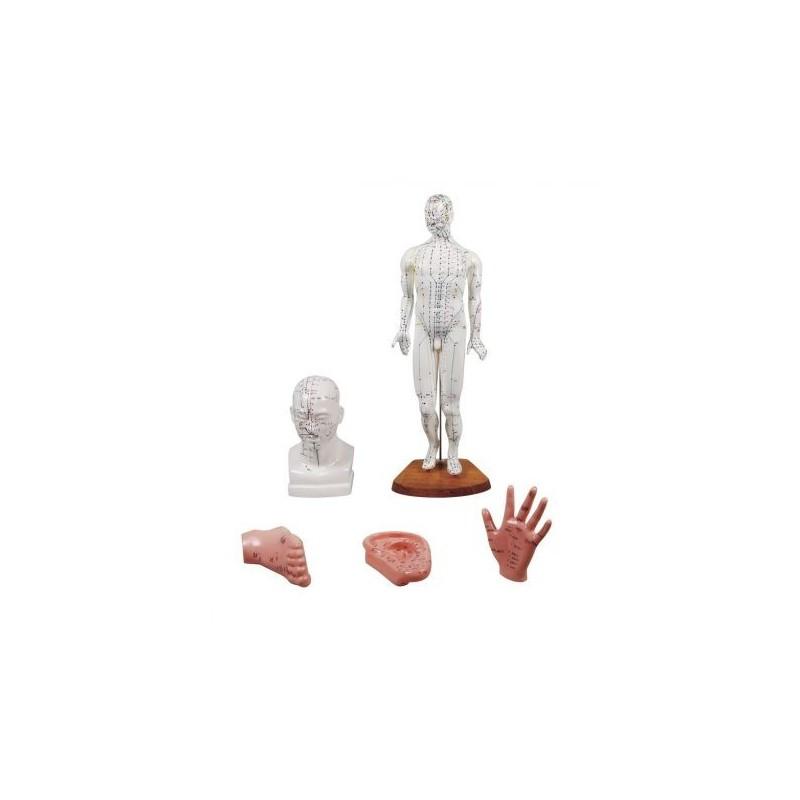 Kit per insegnamento dell'agopuntura, modello anatomico Erler Zimmer 2052