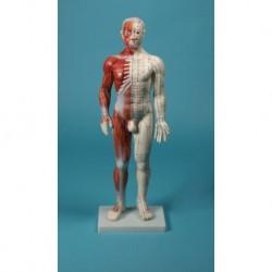 Manichino per insegnamento dell'agopuntura, modello anatomico Erler Zimmer 2051