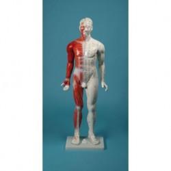 3B Scientific, Skeleton Макс A11 / 1 с мускулна рисунка върху метал стойка с 5 колела, за да се мотае