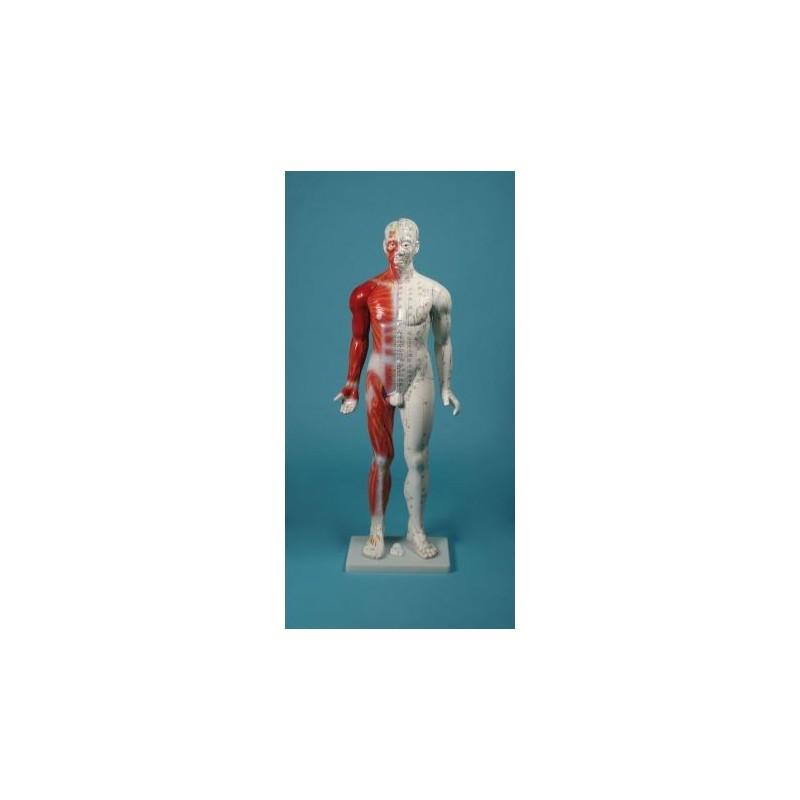 3B Scientific, Scheletro Max A11/1 con illustrazione dei muscoli, su cavalletto in metallo con 5 rotelle da appendere