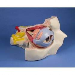 Erler Zimmer,  modello anatomico di occhio con orbita e palpebra, ingrandito di 6 volte in 15 parti F250