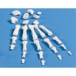 Erler Zimmer, modello anatomico didattico, collezione di ossa della mano 3080