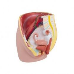 Erler Zimmer, modello anatomico di pelvi femminile in 3 parti H210