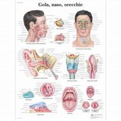 3B Scientific, tavola anatomica, Gola, naso, orecchie (cod, VR4247L )