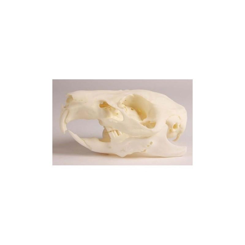Cranio di Cavia con mascella variabile e patologica -  VET4510