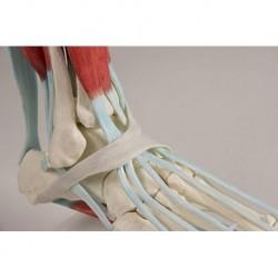 Erler Zimmer, modello anatomico di scheletro del piede con legamenti 6052
