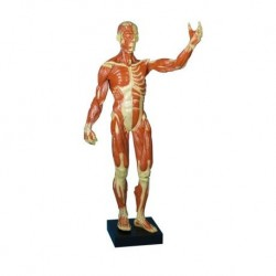 Erler Zimmer, Figura umana con muscoli in scala ridotta B90