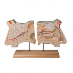 Erler Zimmer, modello anatomico, naso e organi olfattivi, ingrandito di 4 volte C70