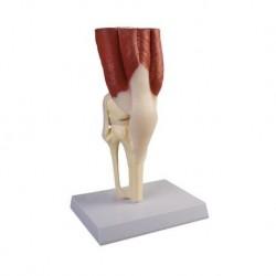 3B Scientific, tavola anatomica, Il Parto (cod, VR4555L)
