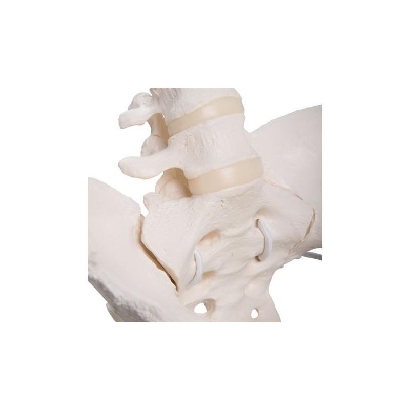 Scheletro di bacino femminile flessibile a montaggio elastico 3B Scientific A61/1