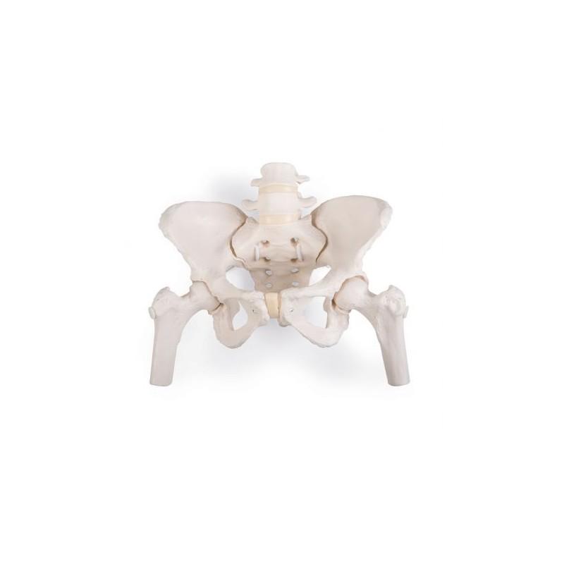 Scheletro di bacino femminile flessibile a montaggio elastico con tronchi dei femori 3B Scientific A62/1