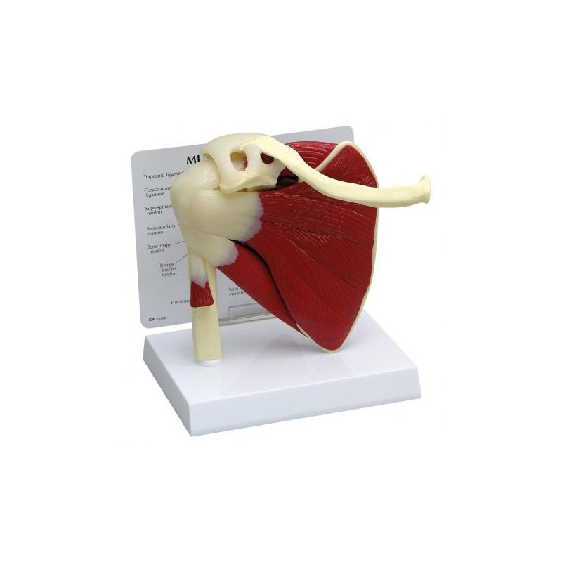 Modello anatomico funzionale di cuffia dei rotatori 3B Scientific  W42005