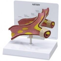 Modello didattico di arteria 3B Scientific 1019531
