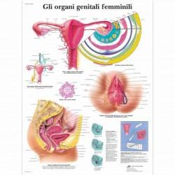 3B Scientific, tavola anatomica, Gli organi genitali femminili (cod, VR4532L )
